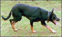 Black and tan workiing kelpie.